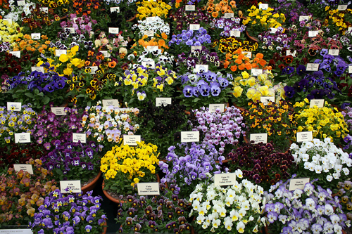 Pansies at Chelsea Flower Show