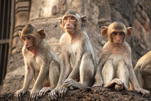 Three lopburi monkeys. Cass monkeys investment performance